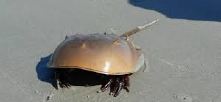 Upcoming Presentation: Guest Speaker: Trish Schuster – Horseshoe Crab; A Living Fossil – March 27